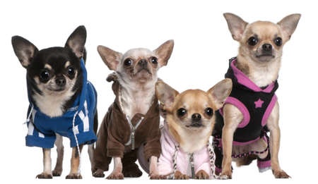 dressed up: Mexican Hairless dog and Chihuahuas in front of white background