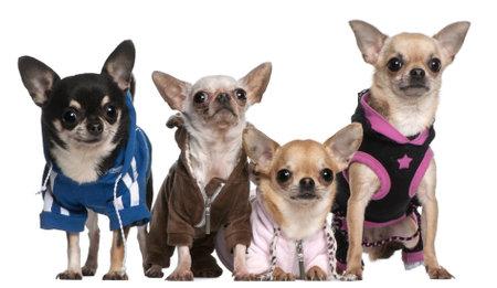perros vestidos: Xoloitzcuintle y Chihuahue�os de fondo blanco