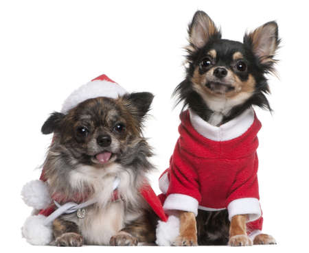 Chihuahuas dressed in Santa outfits for Christmas in front of white background Stock Photo - 8654165