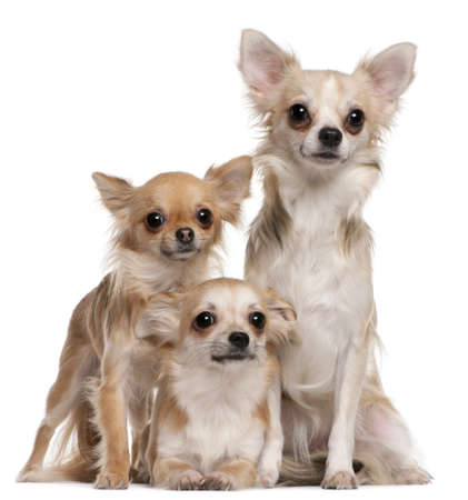 chihuahua 3 months old: Three Chihuahuas sitting in front of white background