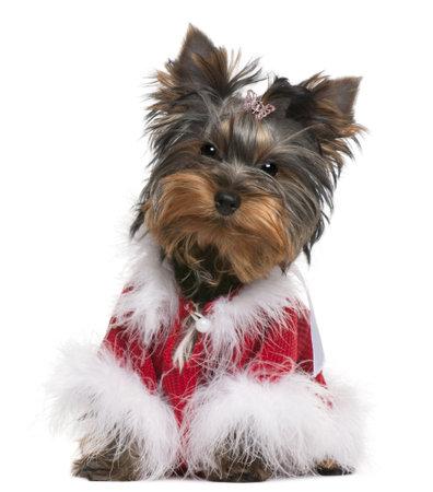 perros vestidos: Yorkshire Terrier puppy vestida, 4 meses de edad, sentado frente a fondo blanco