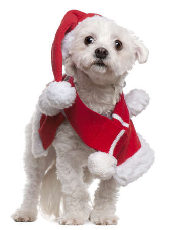half dressed: Maltese wearing Santa outfit, 3 and a half years old, standing in front of white background