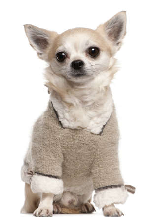 Chihuahua wearing sweater, 4 years old, sitting in front of white background photo