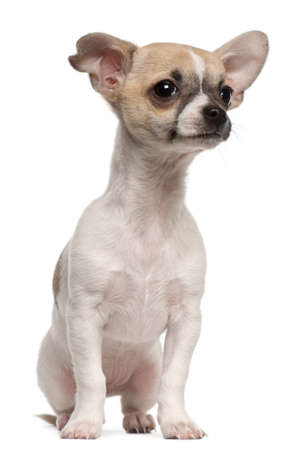 chihuahua 3 months old: Chihuahua puppy, 3 months old, sitting in front of white background