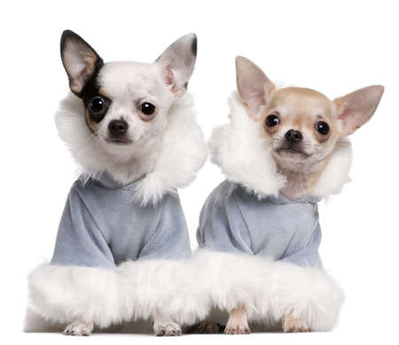 Chihuahua puppies dressed in blue winter outfits sitting in front of white background photo