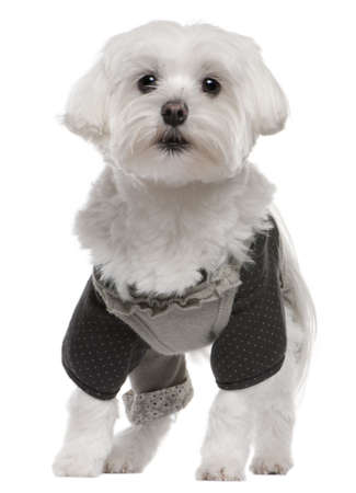 Maltese dressed up, 3 years old, standing in front of white background photo