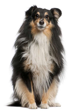 Shetland Sheepdog, 7 years old, sitting in front of white background photo
