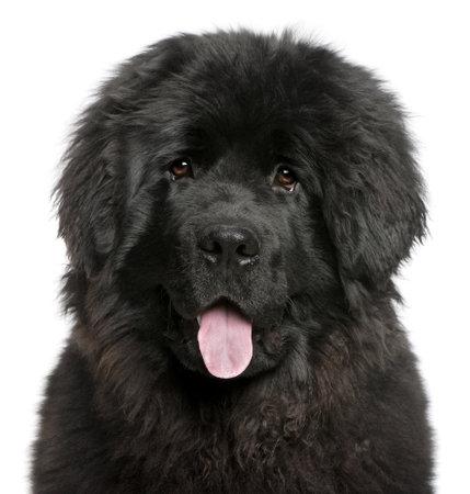 cane terranova: Close-up di Newfoundland cucciolo ansimante, 6 mesi di et�, davanti a sfondo bianco