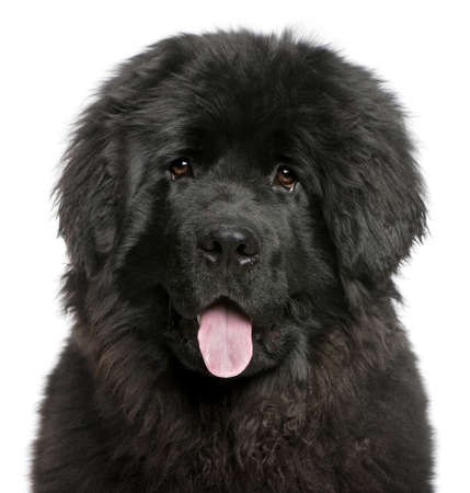 black and white newfoundland dog: Close-up of Newfoundland puppy panting, 6 months old, in front of white background Stock Photo