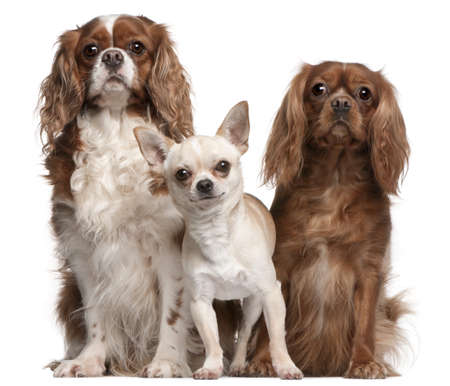 Cavalier King Charles Spaniels and Chihuahua in front of white background photo