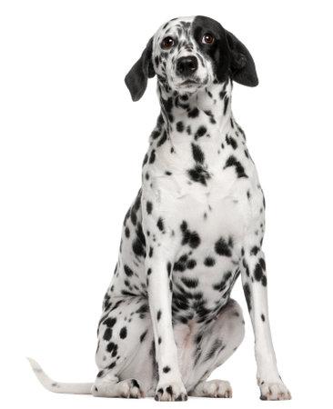dalmatier: Gemengd rashond met een Dalmatische, 2 jaar oud, zitten in de voorkant van de witte achtergrond Stockfoto