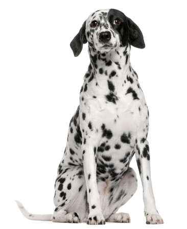 Mixed breed dog with a Dalmatian, 2 years old, sitting in front of white background Imagens