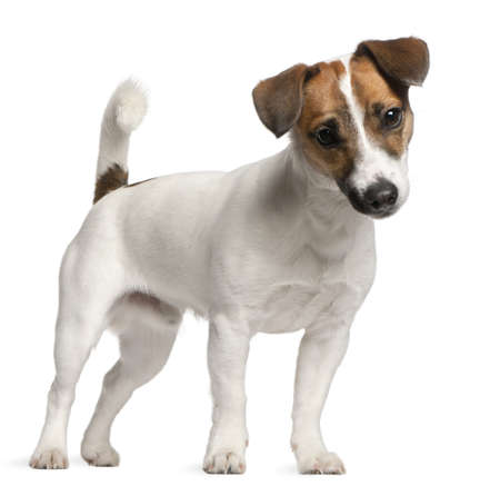 terriers: Jack Russell Terrier puppy, 7 months old, standing in front of white background Stock Photo