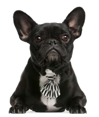 French bulldog wearing bowtie, 5 years old, lying in front of white background photo