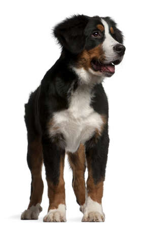 Bernese mountain dog puppy, 4 months old, standing in front of white background photo