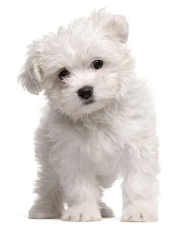 maltese dog: Maltese puppy, 2 months old, standing in front of white background Stock Photo
