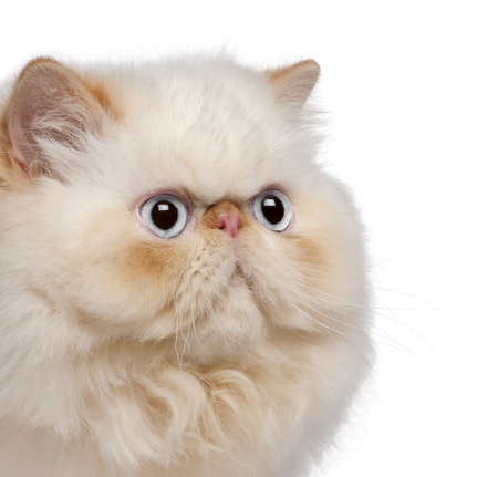 Close-up of Persian kitten, 5 months old, in front of white background photo