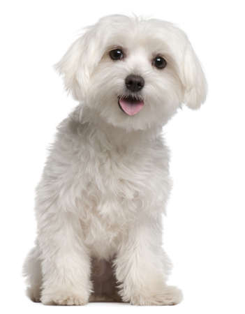 maltese dog: Maltese puppy, 9 months old, sitting in front of white background Stock Photo