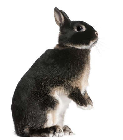 Rabbit standing on hind legs in front of white background photo