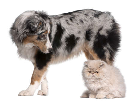 Australian Shepherd dog, 6 months old, looking at Persian cat in front of white background photo