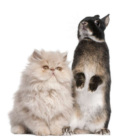 Young Persian cat and rabbit in front of white background photo