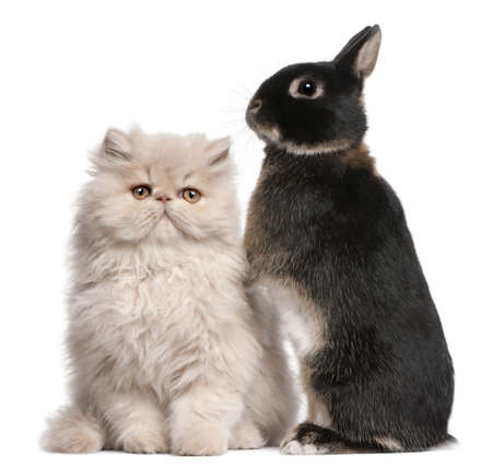 Young Persian cat and rabbit in front of white background Stock Photo