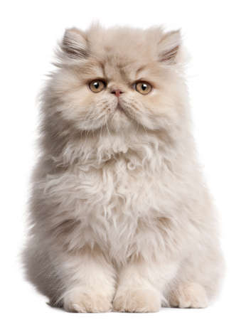 domestic cat: Young Persian cat sitting in front of white background