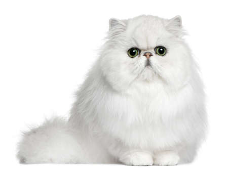white tail: Persian cat, 8 months old, sitting in front of white background
