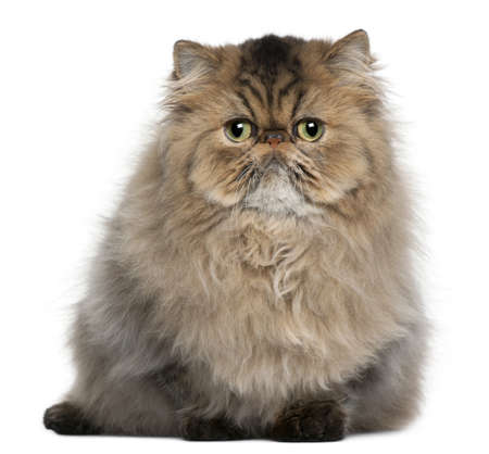 persian green: Persian cat, 8 months old, sitting in front of white background
