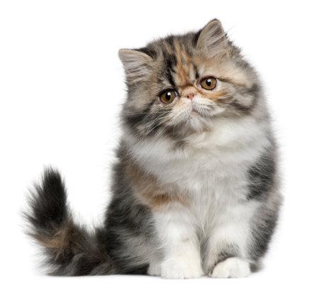 fluffy: Gato persa, 8 meses de edad, sentado frente a fondo blanco