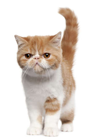 shorthair: Exotic Shorthair kitten, 4 months old, standing in front of white background