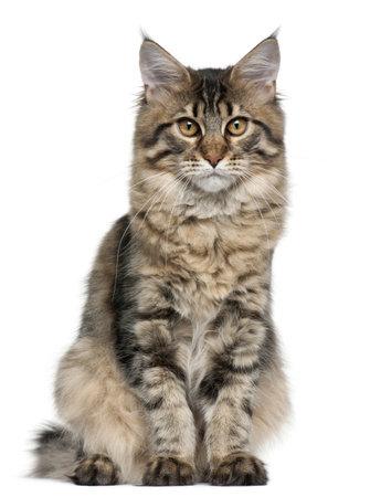 maine coon: Maine Coon cat, 5 mois, assis en face de fond blanc