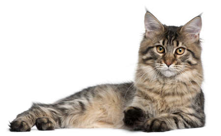 maine cat: Maine Coon cat, 9 months old, lying in front of white background