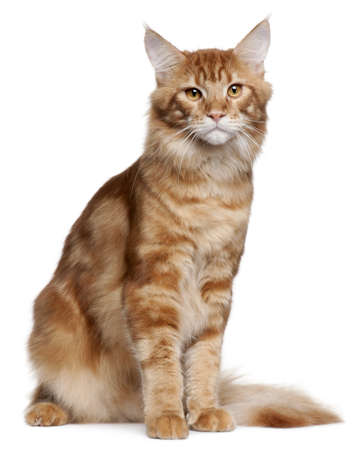 Maine Coon kitten, 9 months old, sitting in front of white background photo