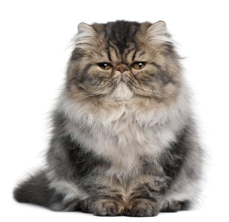 furry animals: Gattino persiano, 4 mesi di et�, seduto davanti a fondo bianco Archivio Fotografico