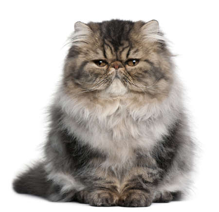 부드러운 털의: Persian kitten, 4 months old, sitting in front of white background
