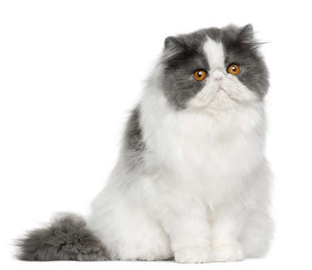 Persian cat, 10 months old, sitting in front of white background photo