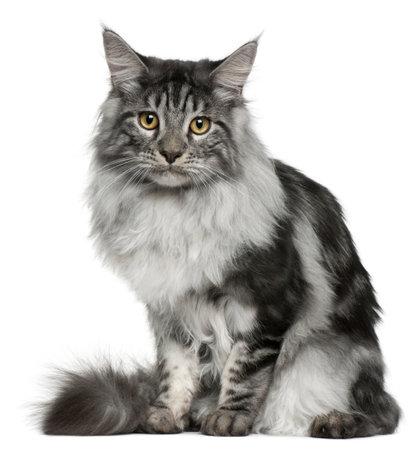 maine coon: Maine Coon cat, 7 mois, assis en face de fond blanc
