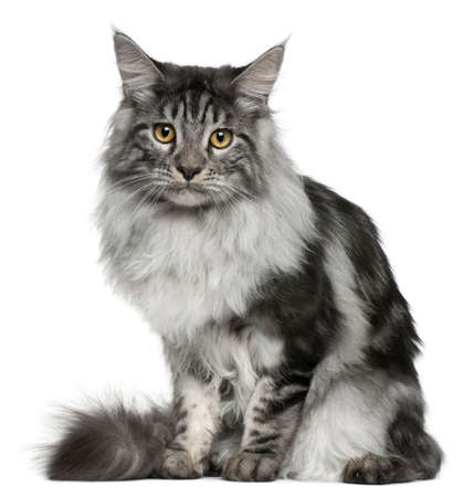 maine cat: Maine Coon cat, 7 months old, sitting in front of white background