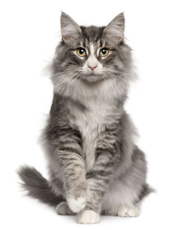 grey cat: Norwegian Forest Cat, 5 months old, sitting in front of white background Stock Photo