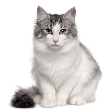 Norwegian Forest Cat, 5 months old, sitting in front of white background photo
