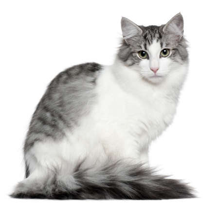 norwegian: Norwegian Forest Cat, 5 months old, sitting in front of white background Stock Photo