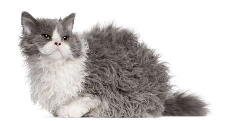 gray cat: Selkirk Rex kitten, 5 months old, sitting in front of white background