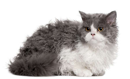 Selkirk Rex kitten, 5 months old, sitting in front of white background photo