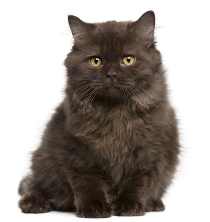 longhair: British Longhair kitten, 3 months, sitting in front of white background Stock Photo