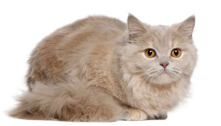 longhair: British Longhair kitten, 5 months old, sitting in front of white background Stock Photo