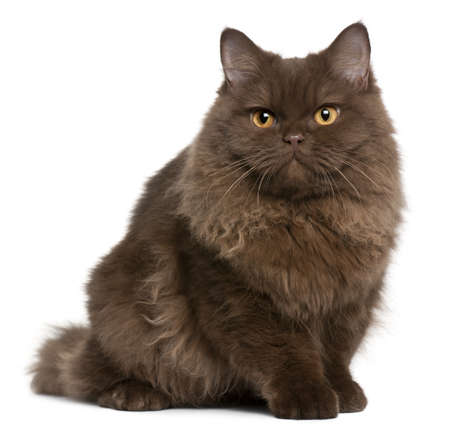 British Longhair kitten, 5 months old, sitting in front of white background photo