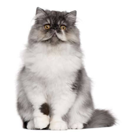 persian cat: Persian kitten, 6 months old, sitting in front of white background Stock Photo
