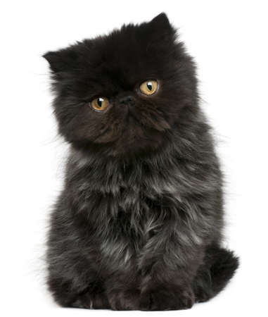 Persian kitten, 3 months old, sitting in front of white background photo