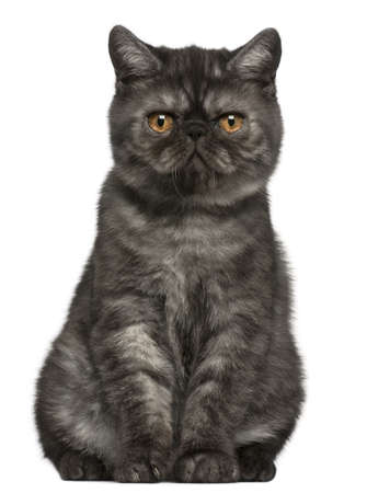 shorthair: Exotic Shorthair kitten, 4 months old, sitting in front of white background